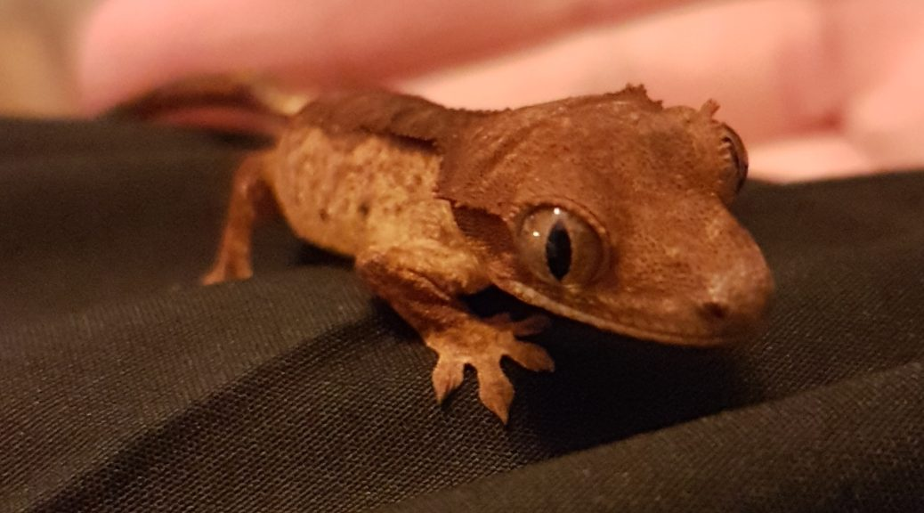 Silva The Crested Gecko